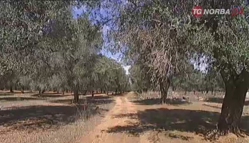 Xylella: Ue approva estensione area quarantena